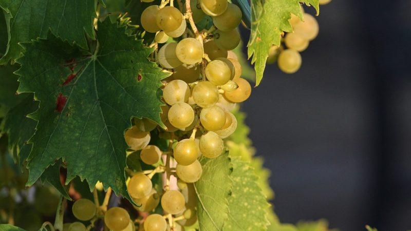 домашние маски из винограда