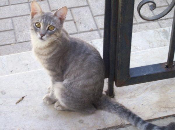 египетские породы кошек
